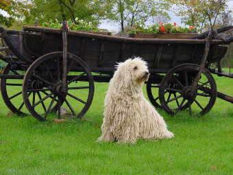 Hirtenhundeweltde Europa Komondor
